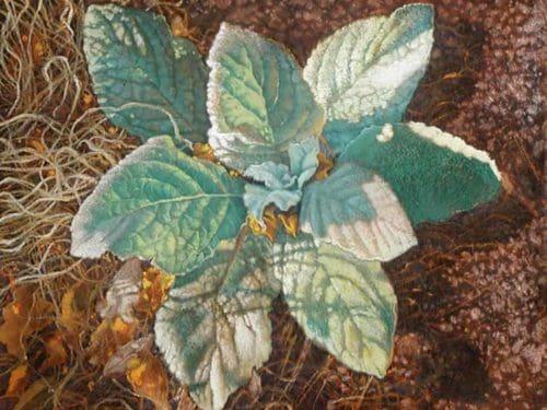 Flannel Leaf